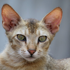 watchful look by Rahul Mahato - Animals - Cats Portraits ( cat, animal )