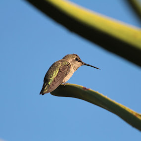 Hummingbird by Ruben Guerrero - Animals Birds