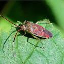 Blushing plant bug
