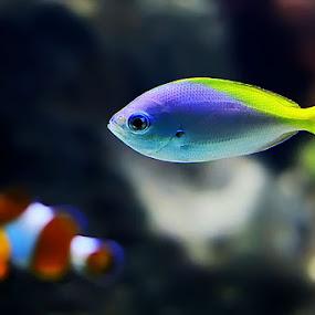 chasing nemo by Grandi Panareka - Animals Fish