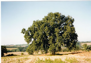 Photo: Le vieux chêne