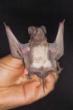 Photo: Free-tailed bat caught in Sendi's room! Morcego-de-cauda-livre apanhado no quarto da Sendi!