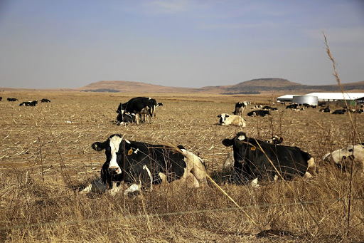 Some of the Vrede dairy farm herd in July 2017, from which more than 500 cows have disappeared.
