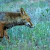 Zorro (Red fox)