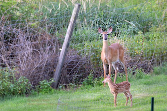 Photo: Fawn and mom stop by the vegetable garden this evening. Fortunately the garden is fenced.