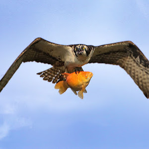 osprey in water and fish4.jpg