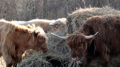 Photo: Jack, Fleury, 'n Wookerina tucking into some winter hay...