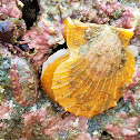 Spiny scallop