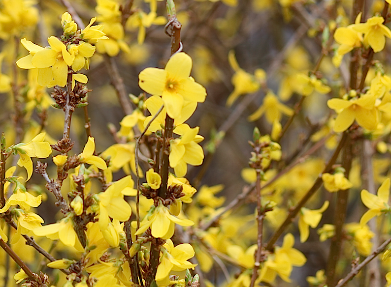 photo forsythia_zpsaqaltczw.png