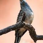 Barred Dove