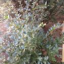 Inkberry evergreen