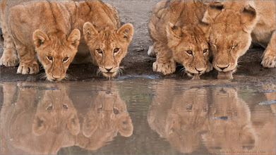 """Photo: Print special! """"Lion Family in for a Drink!""""  I felt inspired by my friends on a cool forum last night - and decided to give this shot another try! I am now selling a 24"""" wide x 16"""" high print of this shot at a 40% discount. The best quality paper and fine art inks!  Let me know if your interested! ray@raymondbarlow.com  Signed and shipped to your house.  Best wishes!  Save Nature please!  Raymond     #wildlife #nature  #raymondbarlow #naturephotos #animal #animallovers #animalphotography  #nature #phototour  #raymond #nature #naturephotography  #phototours  #wildlife  #travel #adventure  #whatshot  #wildlifephotographers #canadian"""