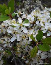 Photo: Sierra plum blossoming in the Lassen Nat'l Forest