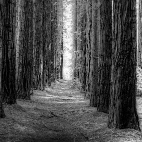 sequoia trees 1 by Gary Parnell - Black & White Landscapes ( trees, sequoia )