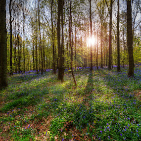 Fairytale forest by Marlou Nijpels - Landscapes Forests ( magical, sunrays, forest floor, hallerbos, sunshine, forest, landscape, hyacinth, early, colours,  )