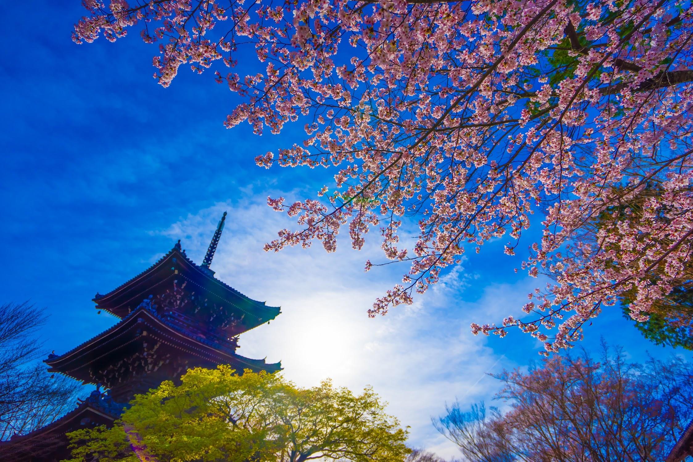 京都 桜 真如堂2