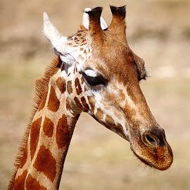 Dame girafe by Gérard CHATENET - Animals Other Mammals