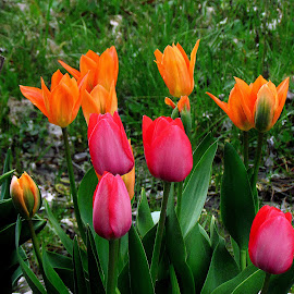 Tulips in the Garden by Tina Dare - Flowers Flower Gardens ( orange, red, spring, macro, flowers, tulips, closeup, nature, up close, garden )