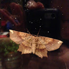 Euclaena Moth