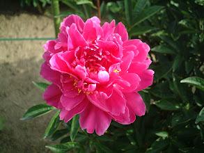 Photo: マーシャルパイラント 強健花で切り花用に適す