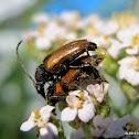 Fairy-ring longhorn beetles