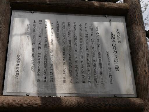 仏隆寺のサクラの巨樹説明文