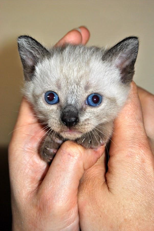 BABY CAT by Paula NoGuerra - Animals - Cats Kittens ( kitten, cat, baby animals, animal,  )