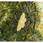 Ectropis bhurmitra 淡猗尺蛾