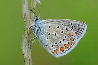 Photo: Azuré commun, Polyommatus icarus, Common Blue  http://lepidoptera-butterflies.blogspot.com/