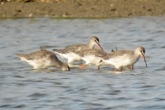 Photo: Spotted Redshanks