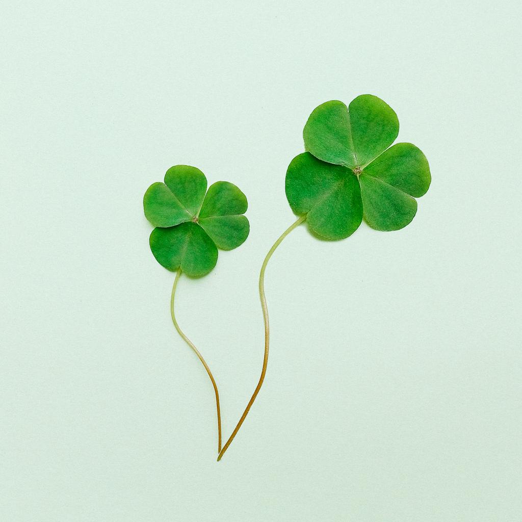 Le trèfle, symbole de la Saint-Patrick.
