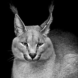 Caracal by Gérard CHATENET - Black & White Animals
