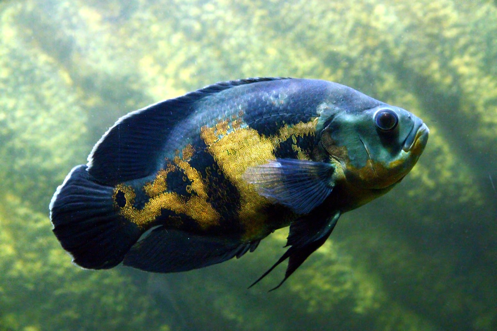 Oscar fish cichlid