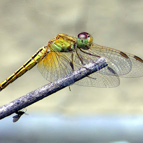 Dragonfly by Rajen Gogoi - Animals Insects & Spiders (  )