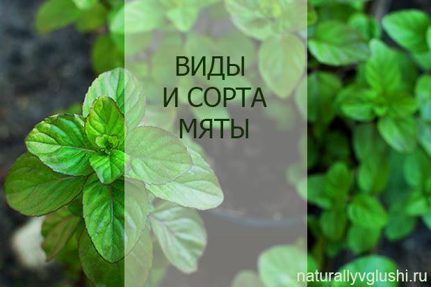 Виды и сорта мяты | Блог Naturally в глуши