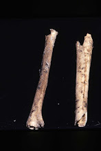Photo: The ends have been chewed off, probably by dogs or coyotes.  Is it human or not?