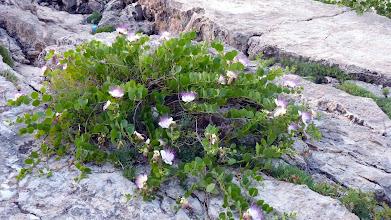 Photo: A Caper probably the Capparis spinosa