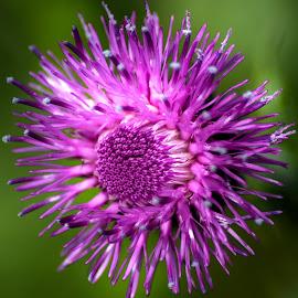 by Slavko Marčac - Flowers Single Flower