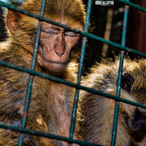 New monkey in the cage by Kareem Mohamed - Animals Other ( new, 2, cage, monkey,  )