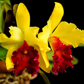 orchid by Boinao Oinam - Nature Up Close Flowers - 2011-2013