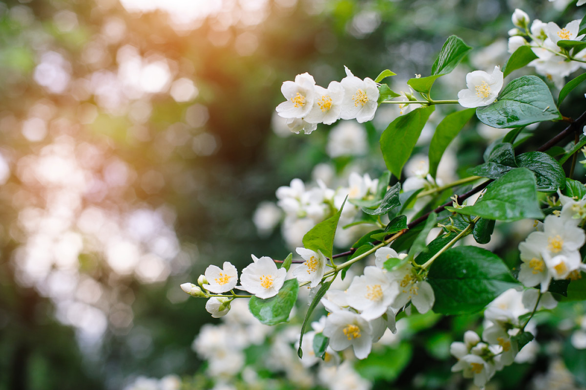Flowers and their meanings her campus jasmine belongs to the genus jasminum and includes over 200 species of plants most of which originated in tropical and sub tropical areas izmirmasajfo