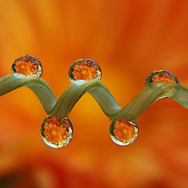Oranged! by Mandhara Iyengar - Abstract Water Drops & Splashes ( water, droplet, chrysanthemum, nikon, flower,  )