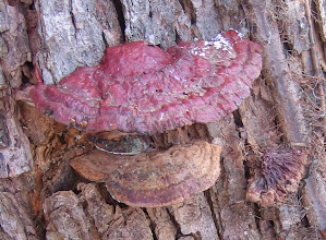Photo: Ganoderma lucidum on Silver Maple w PI vine, 11.17