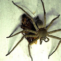 The huntsman spider