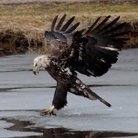 Next Time by Beth Collins - Animals Birds ( bird, flight, eagle, fish, juvenile bald eagle, bald eagle, wildlife, fishing, juvenile, river,  )