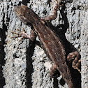 San joaquin fence lizard