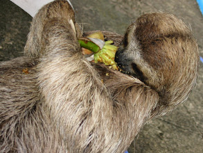 Photo: Sloth named Valentine eating a cecropia blossom 2002 Photo by Craig Price