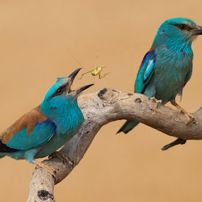 Roller by Howard Kearley - Animals Birds ( roller, blue, mr mrs, birds, courtship )