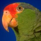 Parrot Translator icon