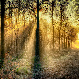 golden light in the forest by Egon Zitter - Landscapes Forests ( lightharp, fog, lightbeam, forest, sunrise, woods, mist,  )